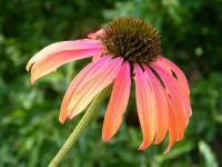 "Coneflower ""Summer Sky"""