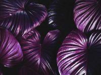 violet leaves - hard