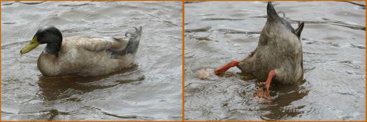 duck .........ducking