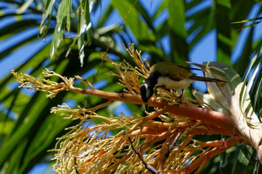 Blue-faced Honeyeater on Palm tree flowers.