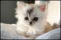 white puffy kitten