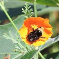 Bumblebee in California Poppy, San Dieguito County Park, Solana Beach, California