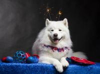 4th of July Samoyed