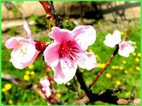 Květ---broskve