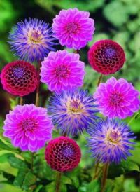 bright, happy dahlias