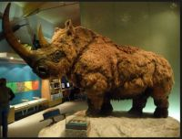 Woolly Rhinocerous