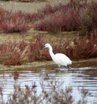 Spain. The Ebro Delta. We saw quite some white herons
