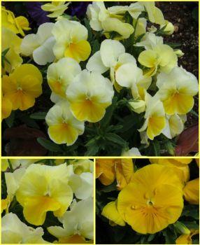 Yellow Pansies..