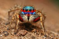 Those Eyes! - Jumping Spider