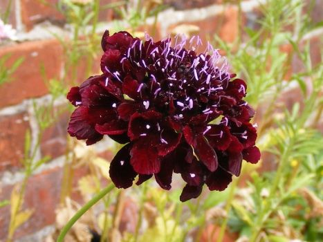 Another scabious