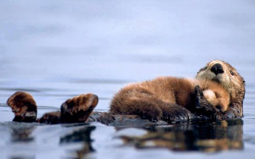 Momma sea otter snuggles her baby