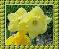 Narcisy / Daffodils