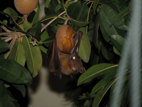 Fruit bat eating our almost ripe honey sweet chiku