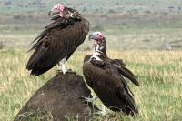Lapet-faced Vultures