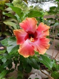 Garden Hibiscus: