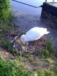 Swan is hungry