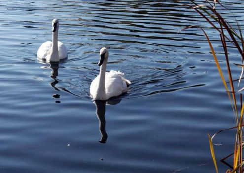 SWANS ON A POND
