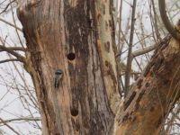 Red Bellied Woodpecker Rear
