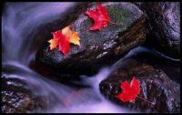 ~Maple leaves on Rocks~