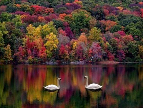 fall swan
