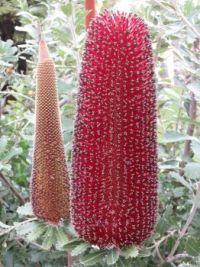 Winter colour - Banksia