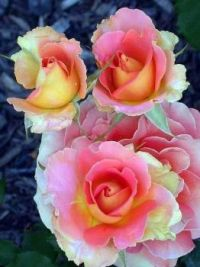 """""""Brass Band"""" Roses"""