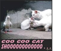"""CATchphrase"" . . . Coo Coo Cat Shooo"
