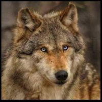 ~Beautiful Wolf~