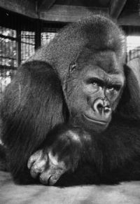 Phil the Gorilla, St. Louis Zoo 9-10-41 to 12-58