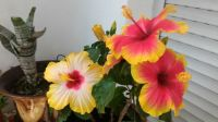 Mum's hibiscus