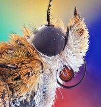 bogong moth, by ahmad fauzan