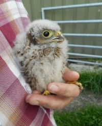 One of the young kestrels who is born on our farm
