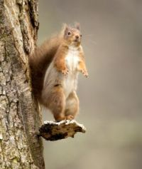 Red Squirrel on look out duties
