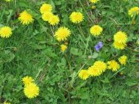 Dandelions and a Lonely Little Violet