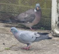 The Rock Dove and Wood Pigeon face each other.