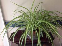 My spider plant, ten months old
