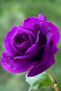 4  ~  Purple Rose.