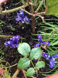 Dwarf iris, the earliest flowers