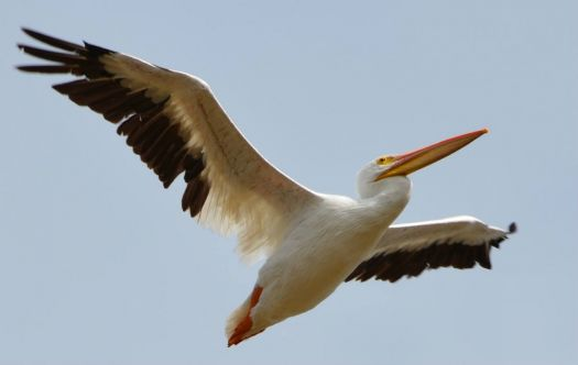 Great White Pelican - Port A, TX 12-2012