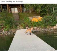 Our neighborhood fox!
