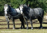 Percheron Curiousity