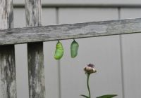 Monarch almost finishing its chrysalis