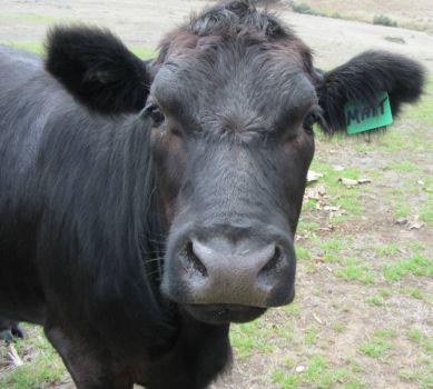 Matt the Cow 2