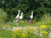 Vondelpark storks update #3