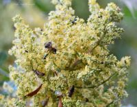 Honeybees & Bumblebees on Winged Sumac, St Augustine, FL