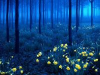 Daffodils in forest twilight