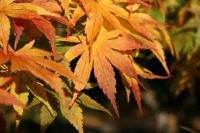 Tobiosho Japanese Maple