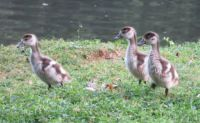 Egyptian goslings