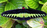 A beautiful, iridescent Malaysian moth