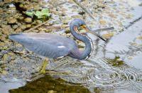 Little blue Heron fishing